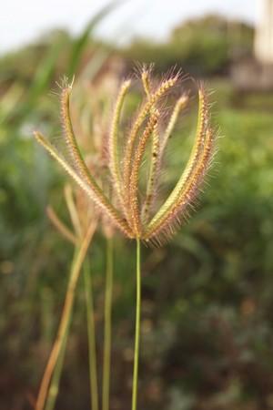 Swollen finger grass or Chloris barbata flower in nature garden