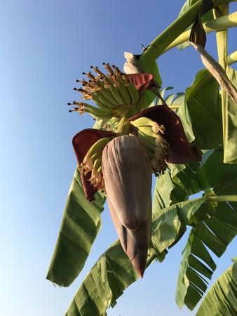 banana flower in nature garden