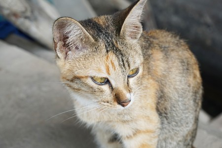 cute tabby cat in country Thailand Stock Photo