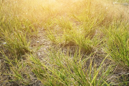 Dry grass in nature garden Stock Photo