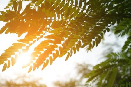 leucaena glauca leaf and sunlight in nature garden Stock Photo