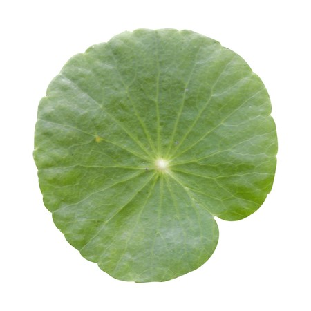 Water Pennywort leaf on white background