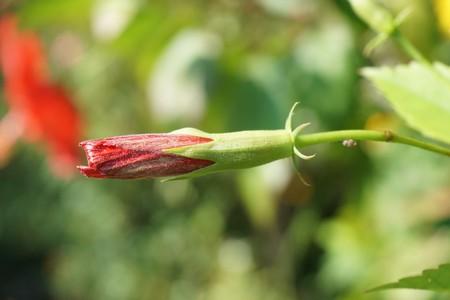 Bud shoe flower in nature garden 版權商用圖片