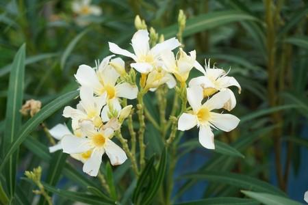 white nerium oleander flower in nature garden