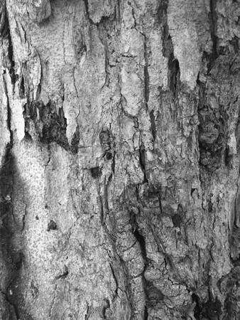 black and white dry bark tree texture Stock Photo