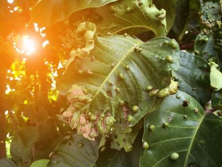 Santol leaf