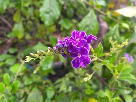 blue Duranta repens flower in nature garden