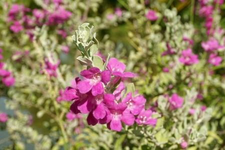 Leucophyllum frutescens flower in nature garden Reklamní fotografie