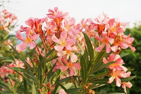 pink nerium oleander flower in nature garden