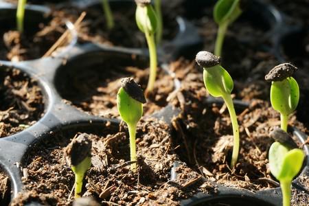 Sunflower seedlings in nature garden