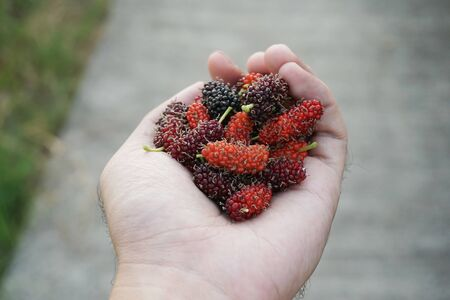 fresh mulberry fruit on man hand