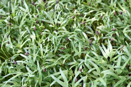 Ipomcea aquatica plant in nature garden 스톡 콘텐츠