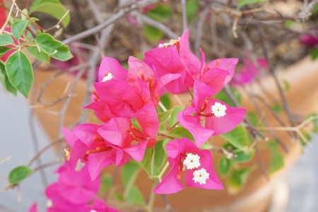 pink Bougainvillea flower in nature garden Zdjęcie Seryjne