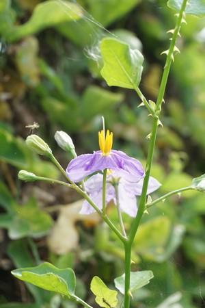 Solanum trilobatum flower in nature garden