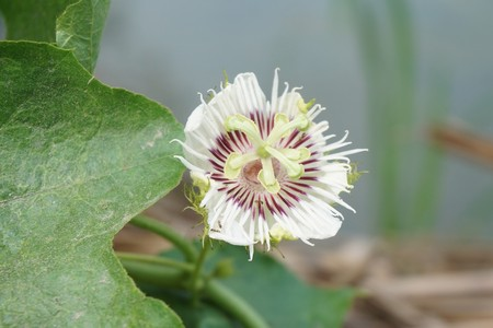 White Passiflora foetida flower in nature garden Banque d'images