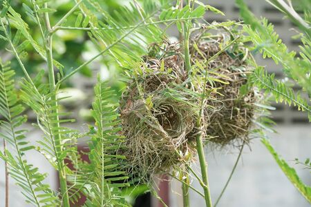 close up bird nest on sesbania tree in nature garden