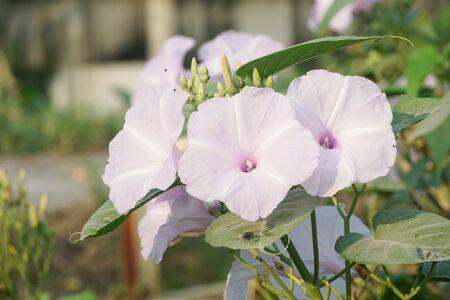Morning glory flower in nature garden