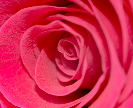 Macro shot of a red rose. Flower of beauty and love. Tender petals of human feelings. Greeting card concept.