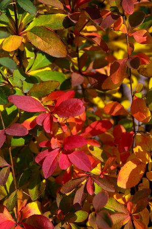 Natural background - autumn red, green and yellow leaves Stockfoto