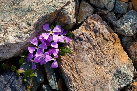 purple mountain violet flowers grow among large gray and yellow granite stones