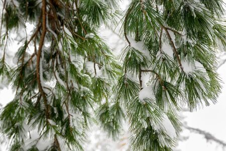 Green spruce branches under a layer of white snow