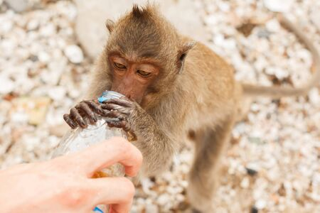 Animals and wildlife. Monkey drinks from a plastic bottle, close-up