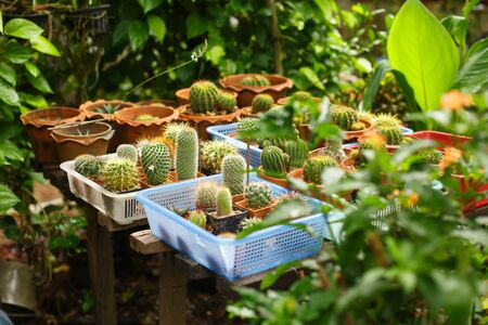Natural tropical background. Flower greenhouse. Many different cacti in pots among plants on a farm in Asia Stock Photo