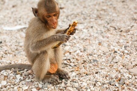 Animals and wildlife. A little monkey or macaque sits on the shore and eats pineapple fruit