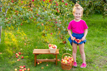 Portrait of children in apple orchard. Little girl in pink Tshirt and denim skirt, stands near branches of an apple tree and holds apples in the hem of her skirt. Carefree childhood, happy child