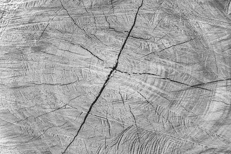 arbol roble: Sección del árbol cortado y círculo de la vida se muestra