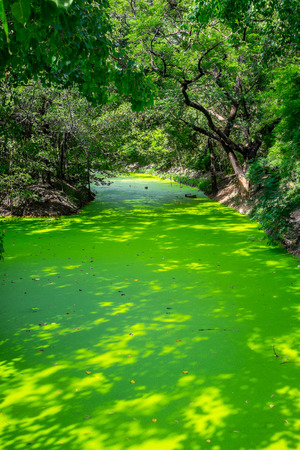 duckweed: A small canal full of green duckweed