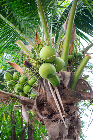 bunches: bunches of green coconuts on coconut tree Stock Photo