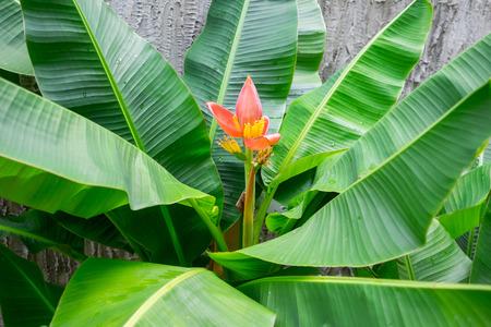 musa: blooming pink lotus banana tree