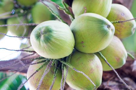 bunches of green coconuts on coconut tree Imagens