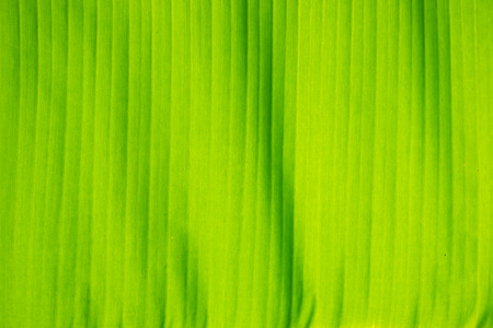 Beautiful and colorful banana leaves as background