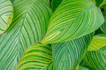 A bunch of canna lily leaves
