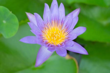 big flower: Blooming purple lotus in big flower bowl Stock Photo