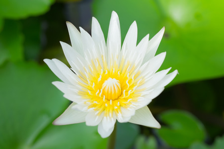 big flower: Blooming white lotus in big flower bowl