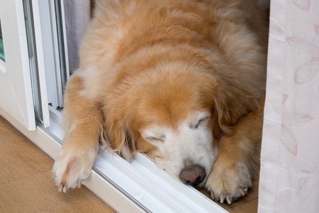 Fat old female golden retriever sleeping at the door and feeling lonely while waiting for her master
