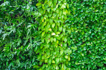 Three kinds of plant on the wall as background. Garden and exterior decoration