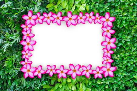 Pink impala lily flower frame on three kind on ivy plants wall for background. Nature frame and white blank empty space for text.