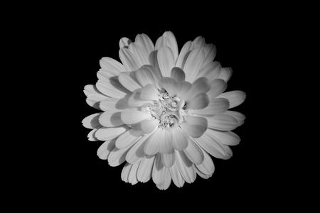 Isolated closed up Marigold ( Calendula officinalis ) on black background. Monotone filter. Stock Photo