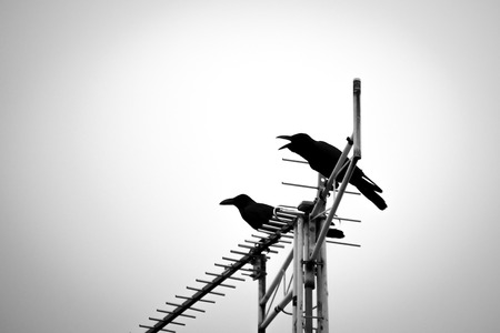 Silhouette crows perching on antenna and making loud noise in the evening. Black and white effect.