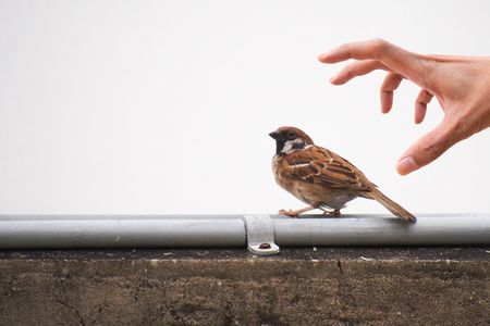 Sparrow bird is unaware and standing on electric wire while hand try to catch it from behind.
