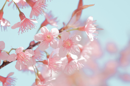 Beautiful sakura flowers in pastel color for nature background. Stock Photo