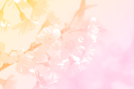 Sweet pink and yellow color beautiful sakura flowers in pastel color for nature background.