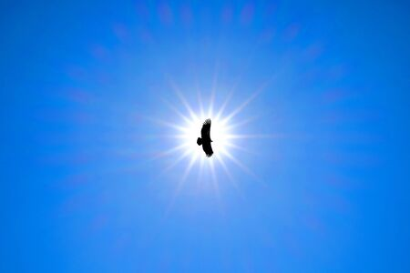 Silhouette Steppe eagle flying under the bright sun and clear blue sky in summer.