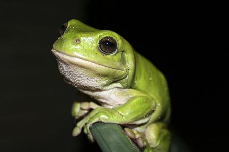 green tree frog: Green tree frog smiling at camera.
