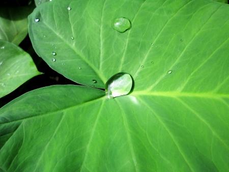 bon: Water drops on leaves Bon in daylight  Stock Photo