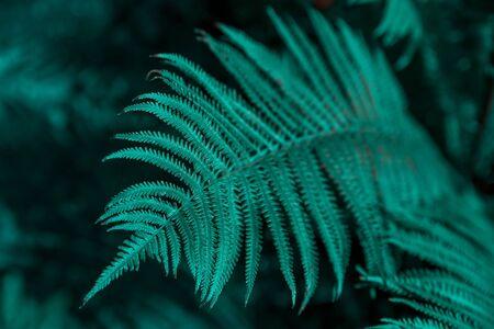 Blue fern leaf in nature. Rainforest. Close up Stockfoto